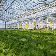 Так растет знаменитый кушкульский салат