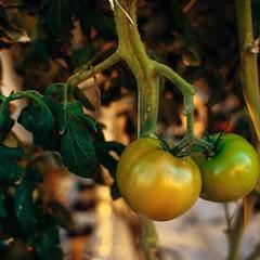 Красный томат. Поспевает на грядке!